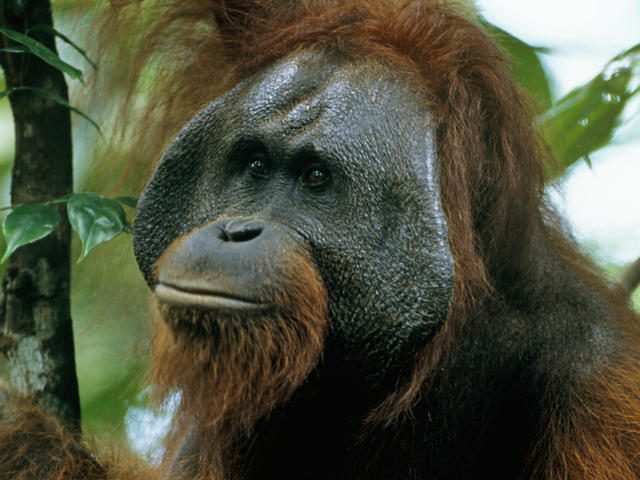 DeLallo+will+be+fundraising+to+help+the+Bornean+Orangutang%2C+an+endangered+species